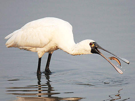 WWF Hong Kong - Black-faced Spoonbill