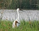 Two Siberian Cranes, one adult (all white) and one juvenile (orange-brown), were spotted at the Reserve on 2 December 2016. The adult bird still remains on the premises while the juvenile disappeared after a few days.