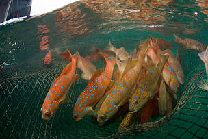 HKU- led research finds at least 20 popular grouper species