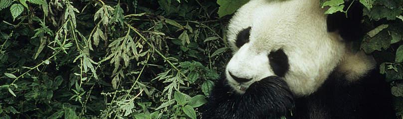 背景 大熊猫是世上最具代表性和可爱的动物,天性善良,爱吃竹叶,属熊