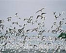 Migratory birds in Deep Bay, a Delta area.