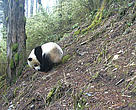 Giant Panda captured in Wang Lang NR, Sichuan, China