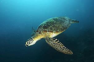Green turtle in Sipadan, Sabah, Malaysia / ©: Adam Minu