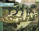 Sabah giant grouper