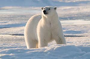 北極熊的毛髮是透明的,皮膚則是黑色,只因陽光及冰層的反射,人類肉眼才會把透明的毛髮看成白色。