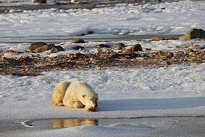 隨著北極結冰時間愈來愈短,北極熊可以在冰上覓食 (主食為海豹) 的時間亦被迫縮短。假如一整日無食物,北極熊體重每日會下跌約一公斤,長此下去北極熊有機會白白餓死。