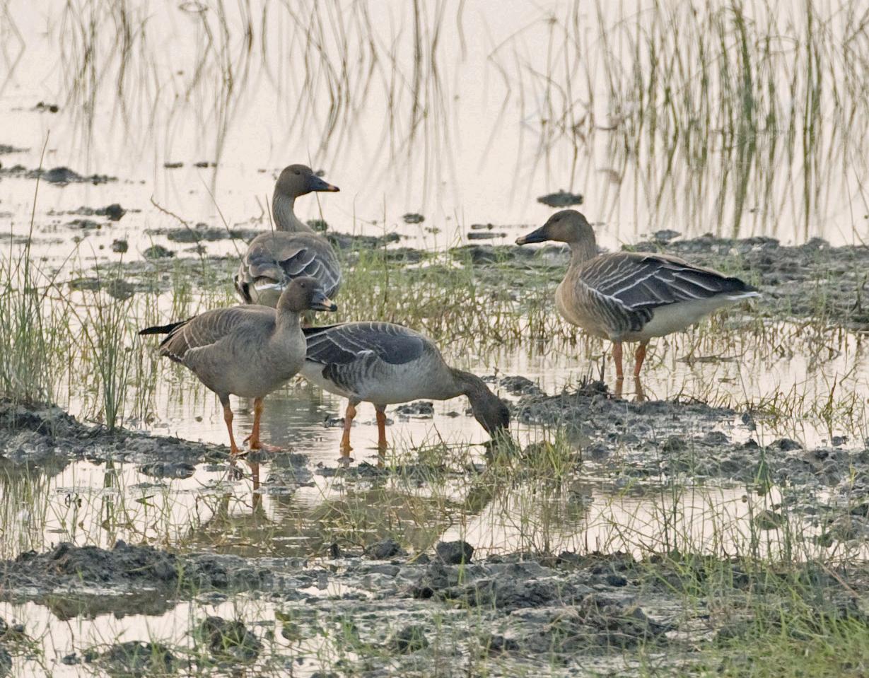 米埔自然保护区录得香港新雀鸟品种-寒带森林豆雁