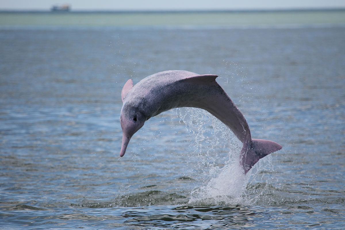 chinese white dolphins Delineate areas for conservation of chinese white dolphins in hong kong based on the dolphins' natural pattern of range use and behavioural preferences for areas and habitats, their.