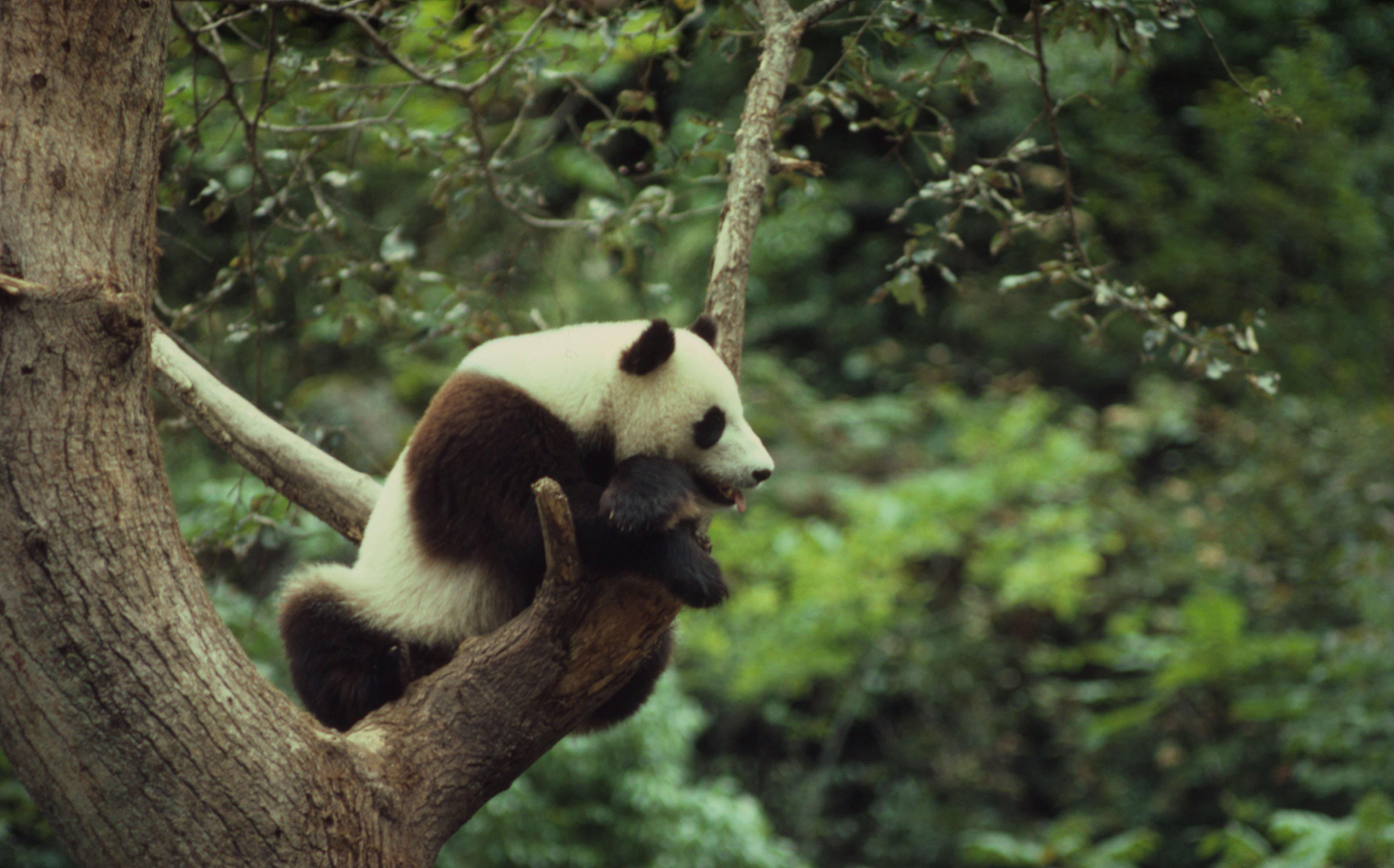wwf panda forest - photo #9