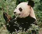 Giant panda eating bamboo in Sichuan province