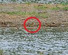 首次在香港及中國大陸錄得的黃胸鷸(紅圈示),在國際自然保護聯盟紅色名錄(IUCN Redlist)中屬近危物種,首先被本地觀鳥人士勞浚暉先生於4月19日發現。