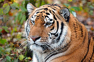 Panthera tigris altaica L., Amur tiger in the rehabilitation center of the wild animals ... / ©: Vladimir Filonov / WWF-Canon