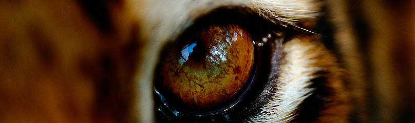Close-up of the eye of a captive Bengal tiger, (Panthera tigris tigris or Panthera tigris ... / &copy;: National Geographic Stock/ Michael Nicols / WWF