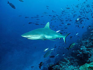 Carcharhinus amblyrhynchos, Grey reef shark. Curious and territorial, Grey reef sharks are among ... / ©: Cat Holloway / WWF-Canon
