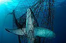A Thresher shark (Alopias vulpinus) is fatally caught in a fishing net, Mexico.  / ©: Brian J. Skerry / National Geographic Stock / WWF
