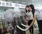 Cheryl Lo, WWF-Hong Kong's Senior Wildlife Crime Officer urges Hong Kong government to return the tusks to the elephants by banning domestic ivory trade.